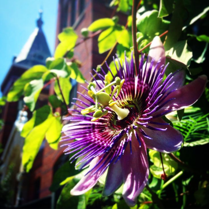 Passion Flower (Passiflora x alato-caerulea) from the Ripley Garden