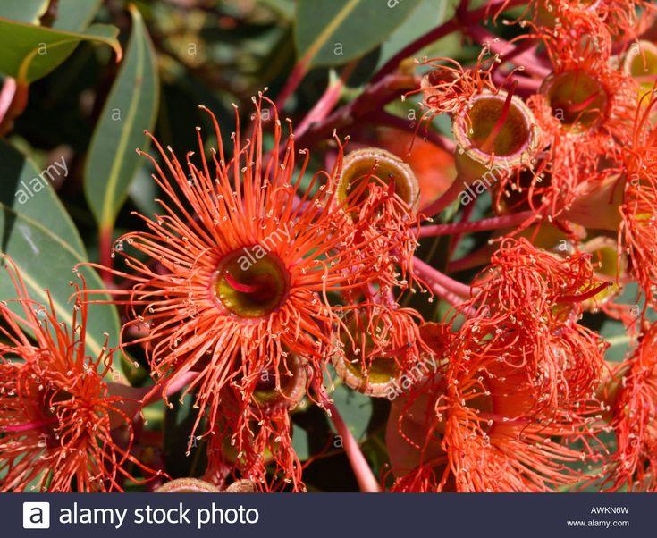 Red Flowering Gum (corymbia Ficifolia 'orange Splendour' Syn Stock ...