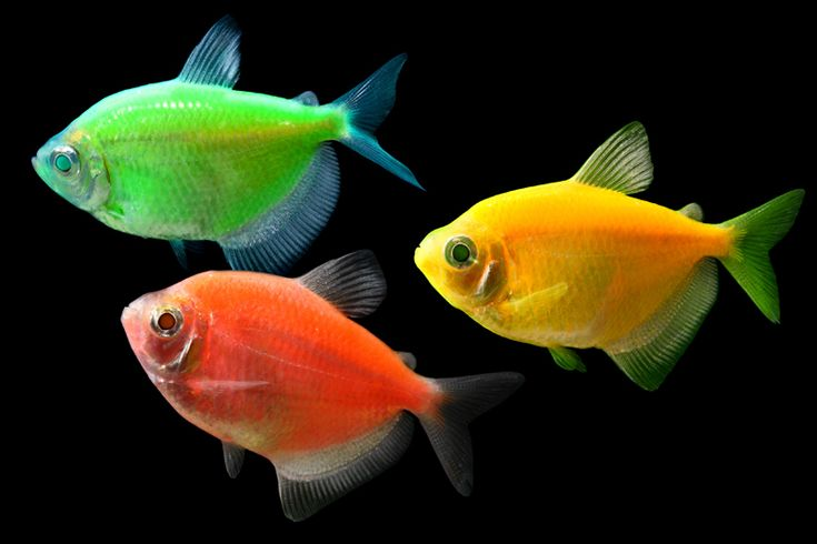 17 best images about glofish on pinterest glow live for Glow in the dark fish walmart