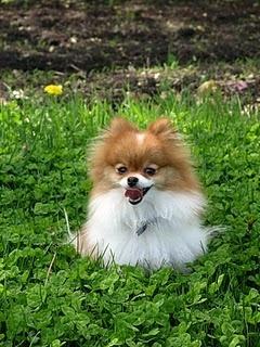 25 Best Ideas About Baby Pomeranian On Pinterest Teacup