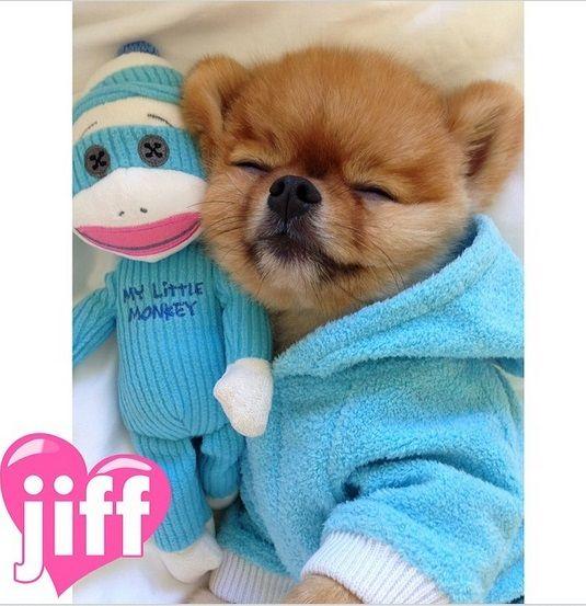 Best Jiff The Pomeranian Images On Pinterest Actor Model - Jiff the pomeranian is easily the best dressed model on instagram