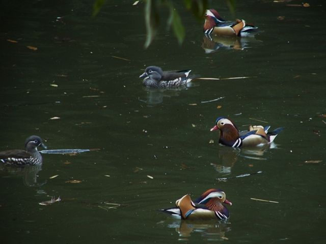 mandarin duck : オシドリ