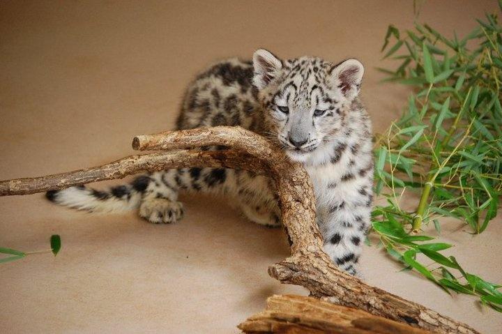 OK Zoo - Snow Leopard Cub