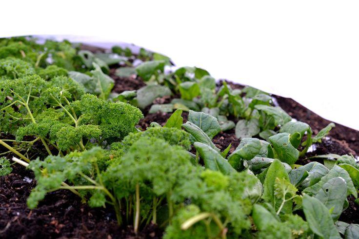 Sedan jag upptäckte att jag kan odla grönsaker under vintern har mitt intresse kommit att breda ut sig över hela året. Vinterodling är så roligt!