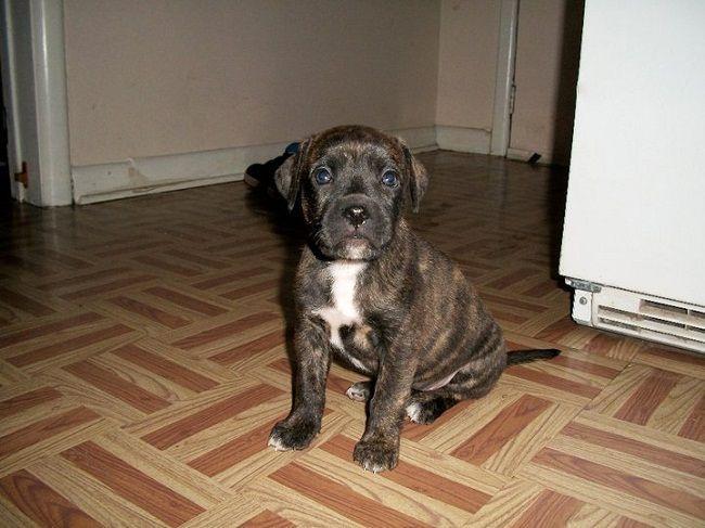 american pitbull boxer mix puppies | Zoe Fans Blog