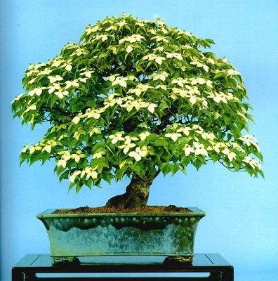 A Beautiful Dogwood Bonsai Tree ......