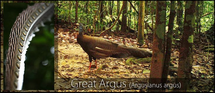 The illusive Great Argus (Argusianus argus) has been captured on OIC camera traps during a biodiversity survey in Gunung Leuser National Park