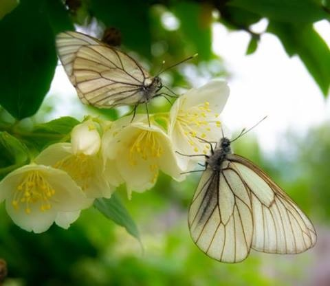 Our Worlds View & Positively Beautiful  White Butterflies on a jasmine flower.