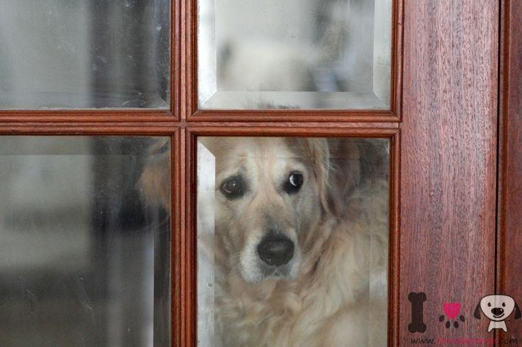 Ansiedad por separación canina