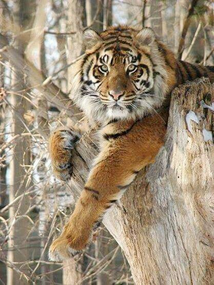 Tiger (Panthera tigris).  This iconic jungle cat is found throughout Asia from the tropical rainforests to the frozen tundra of Siberia.