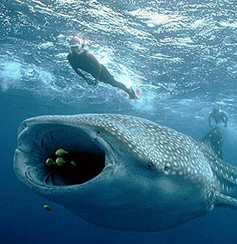 Whale Shark - he could easily swallow a human. look at that mouth compared to that diver. Now think of Jonah.