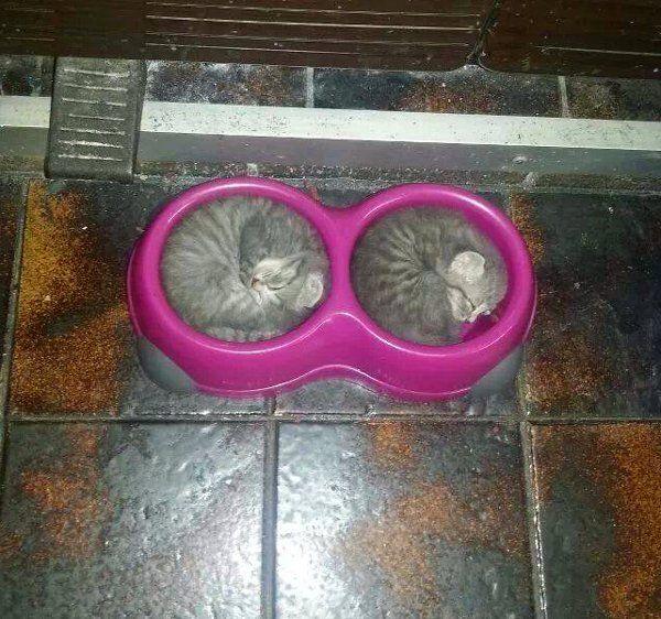 Des chatons dans la gamelle du chien