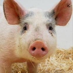 Pinky is an adoptable Pig (Farm)  in Des Moines, IA. Pinky is available for adoption or foster and can be seen by appointment at ARL Main. If you are interested in meeting her or learning more about h...