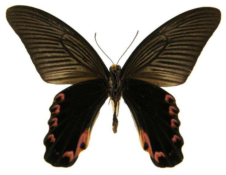 Papilio elephenor (Yellow-crested Spangle)