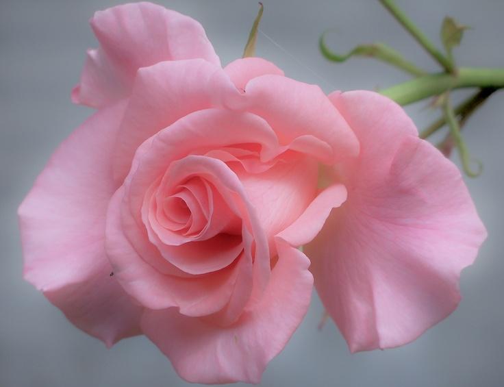Soft Pink Rose by Nancy Andersen, via 500px