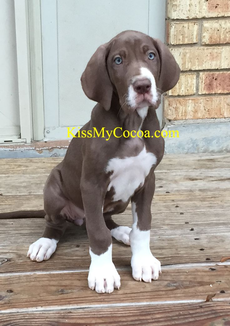 My mismarked chocolate mantle Great Dane girl.  Still trying to come up with just the right name for her.  I love her green eyes!