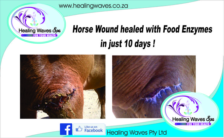 Food Enzymes with Co-enzyme Q10 (supplement) assist in wound healing on animals