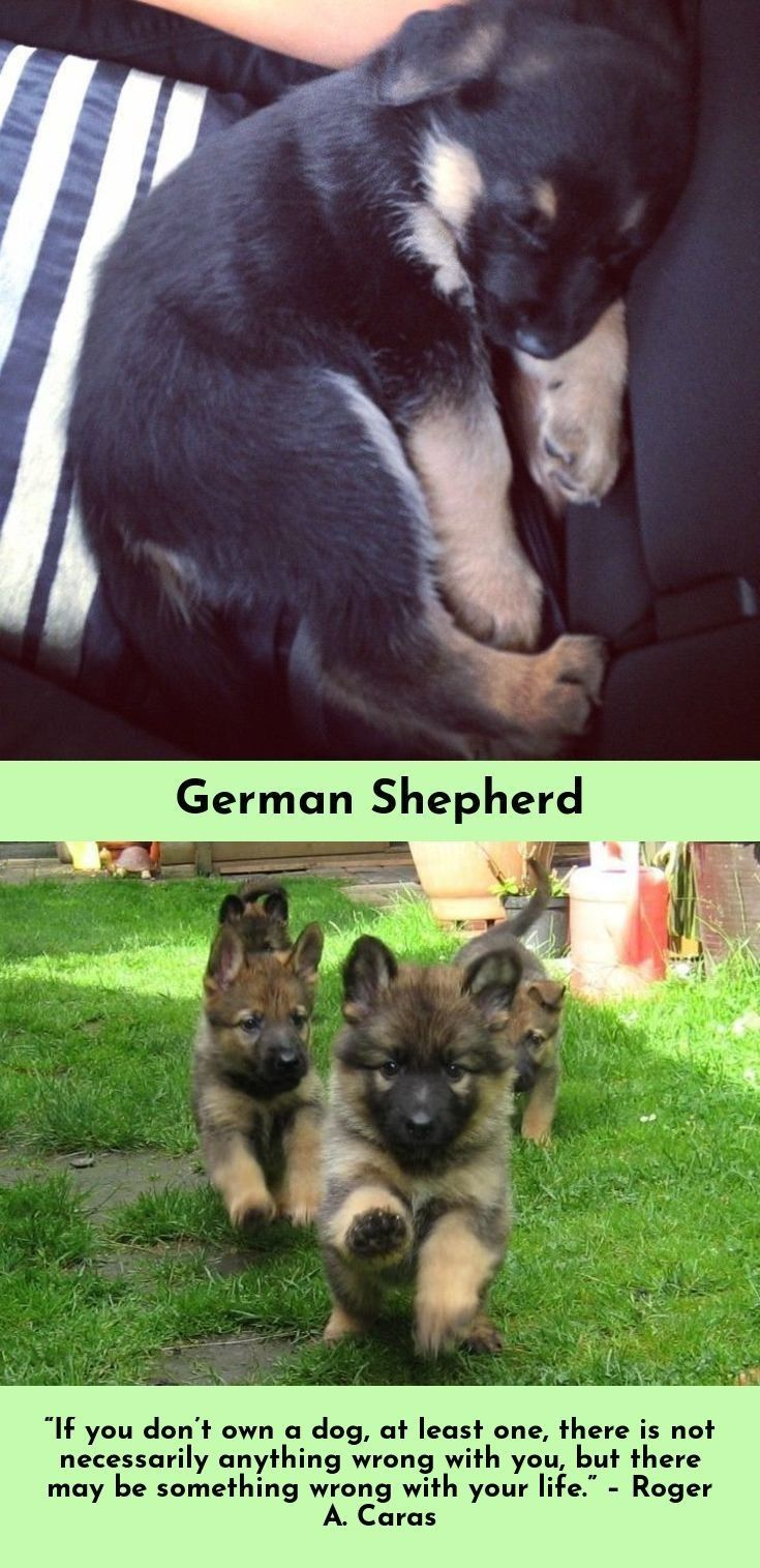 Check Out The Link For More German Shepherds Just Click On The