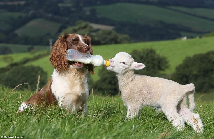 Baaaa, how sweet: Jess the sheepdog feeds an orphaned lamb milk from a bottle held in her mouth on a farm in Devon
