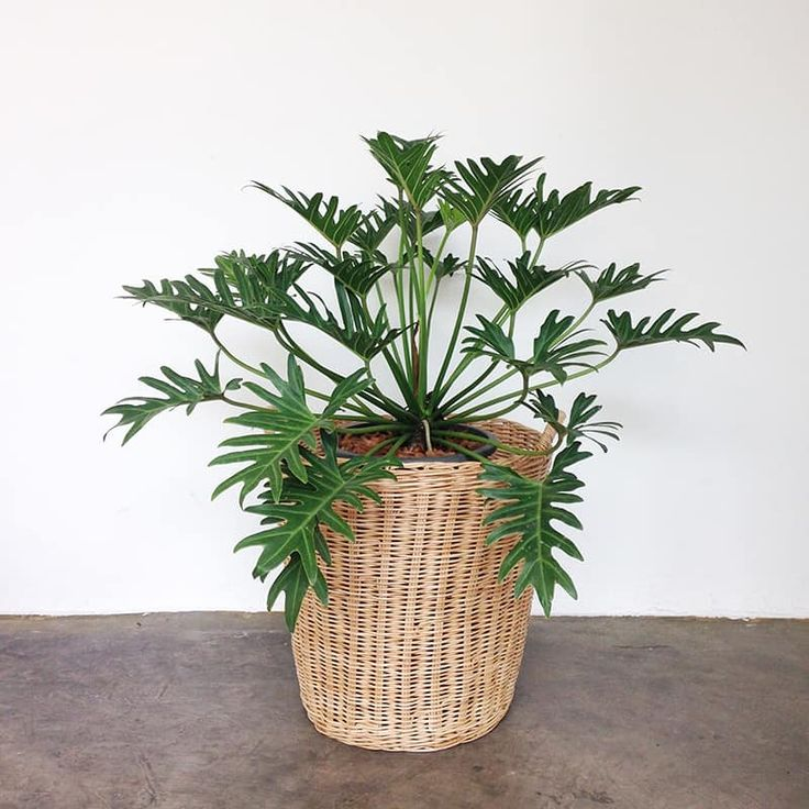 A beginners to growing and caring for philodendron xanadu