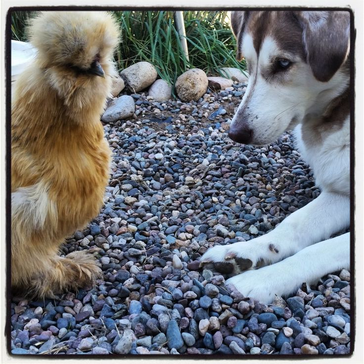 How to Train Your Dog to Not Kill Your Chickens