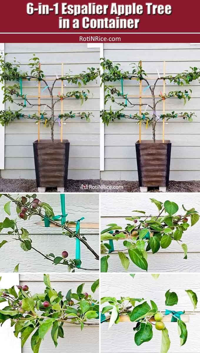 6 In 1 Espalier Apple Tree In A Container Apple Tree Gardening Apple Plant Fruit Trees In Containers