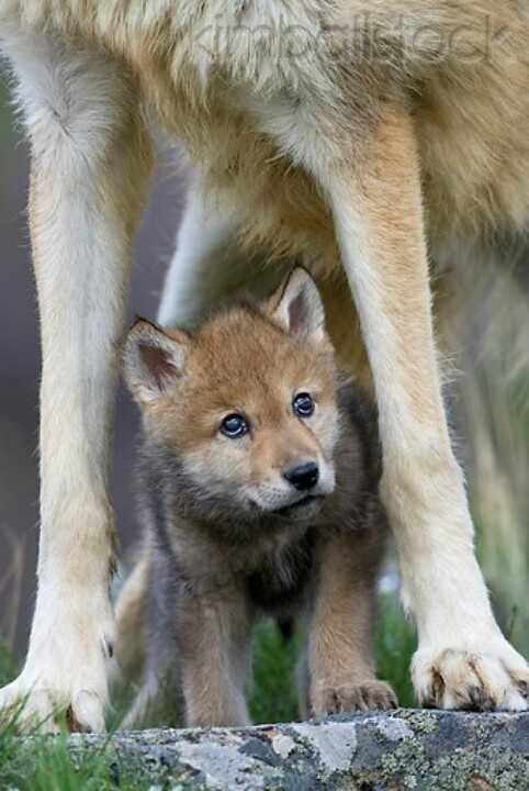 Gray wolf pup standing under mom | Cloths | Pinterest ...