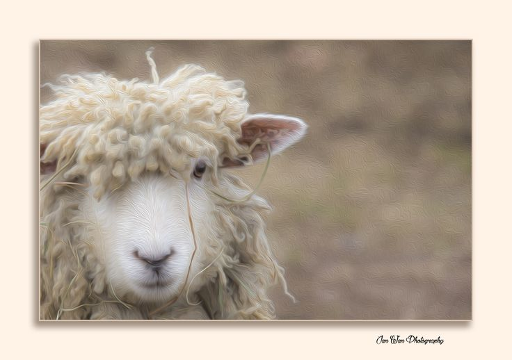 My winning sheep picture www.janwanphotography.com
