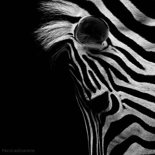 Best Animal Portraits Ideas On Pinterest Friends Of Animals - Breathtaking black and white animal portraits by lukas holas