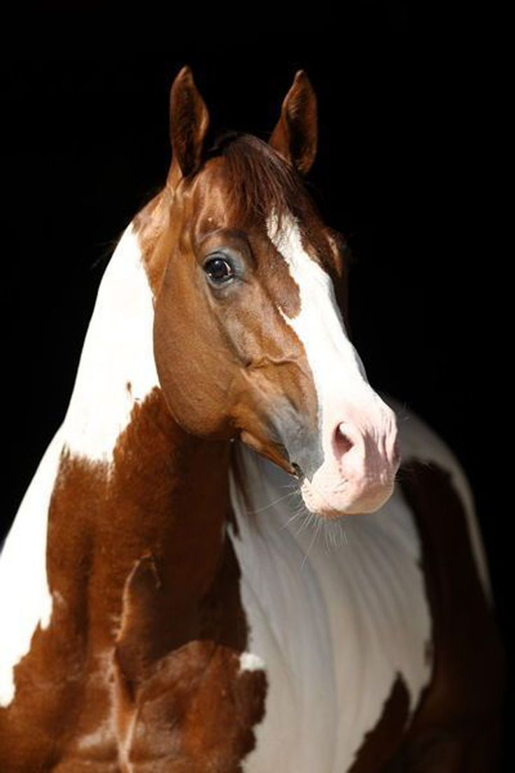 Pin by Iva on Paint horse & pinto   Horses, American paint ...