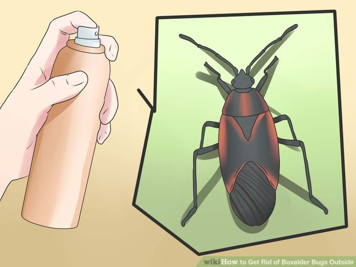 how to get rid of boxelder bugs in my home