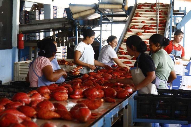 Honduras: Crece en 800 hectáreas cultivo de camote para exportación El rendimiento por hectárea de este cultivo es de 115,000 a 120,000 libras. Las plantas exportadoras generan entre 80 y 60 puestos de trabajo, cada una.