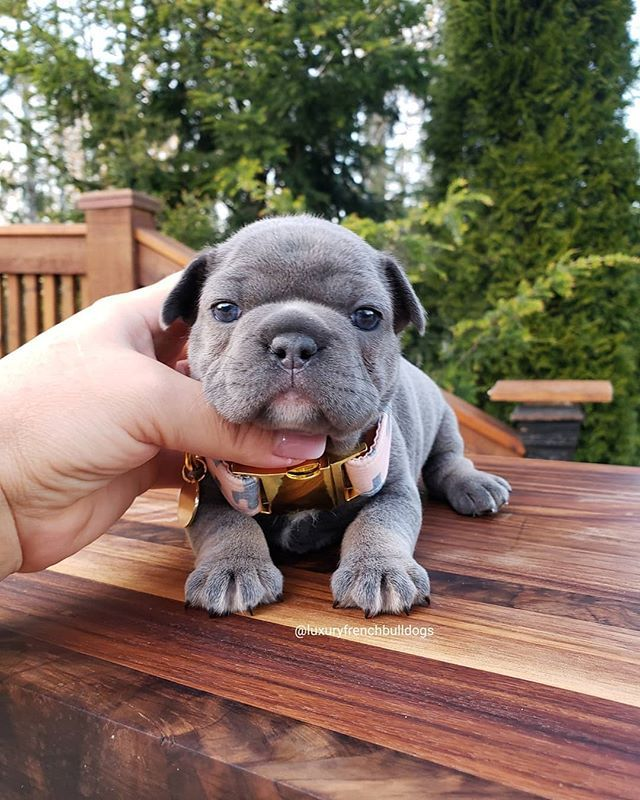 Luxurious French Bulldogs Luxuryfrenchbulldogs Instagram