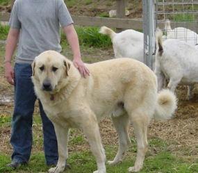 anatolian shepherd looks alot like our Tippy