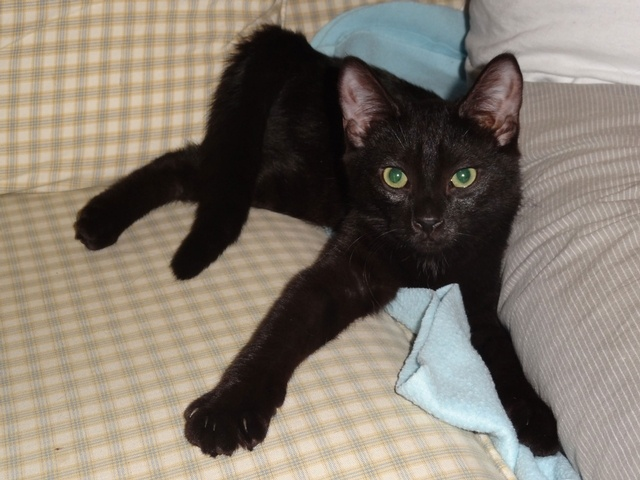 Meet 4 mth old Milo!  He is a great little guy - super adventurous and playful but still loves to snuggle.  He'd love to be adopted with one of his siblings but he'd also be great as a single kitty.  To give Milo a forever home, go to: www.orphankittenrescue.com