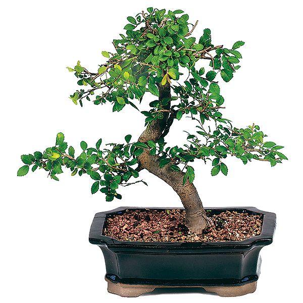 chinese-elm-bonsai-tree.jpg how to care for bonsai