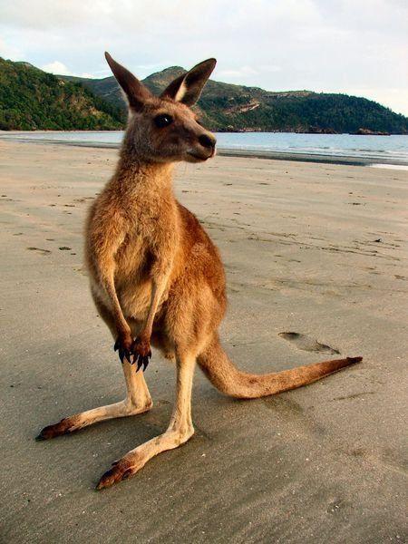Kangaroo on a beach. #Kangaroos