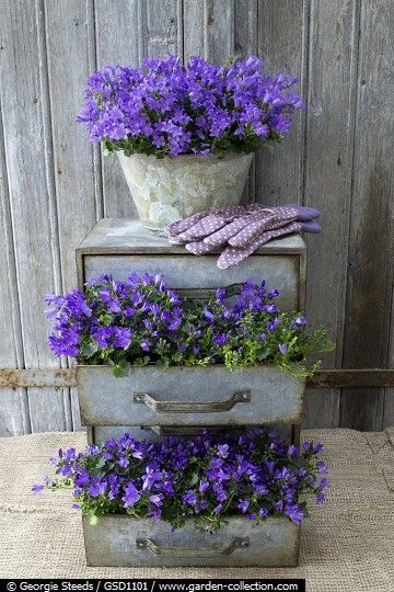 Vintage metal chest of drawers planted with Campanula Ocean, metal pot has Campanula Monique