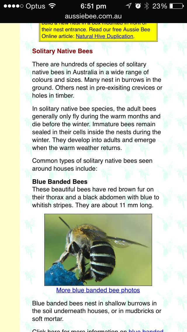 Native Solitary Blue Banded Bee