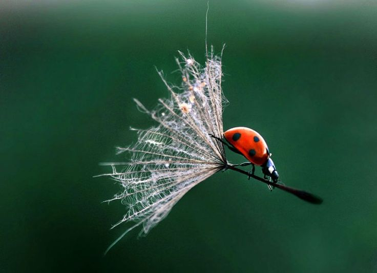 Up, up and away! This little lady bug caught quite the ride from a dandelion. (photo: Jagoda Cholacinska)