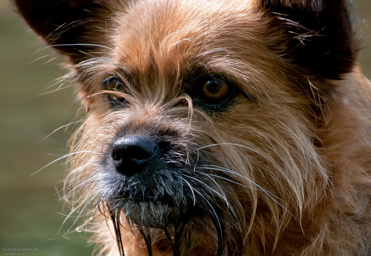 17 best images about mixed breed on pinterest cocker spaniel border collies and cairn terriers. Black Bedroom Furniture Sets. Home Design Ideas