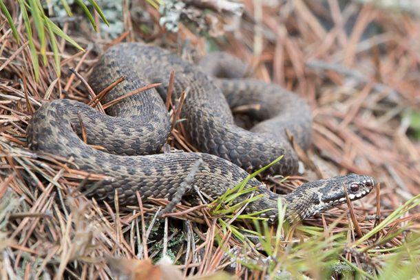 Käärmeet etuajassa | Suomen Luonto. Snake, Finland