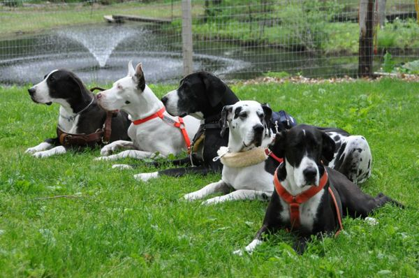 According to Carlene White, Director of Service Dog Project Inc, Great Danes make great service dogs because of their large, sturdy size and gentle temperament.