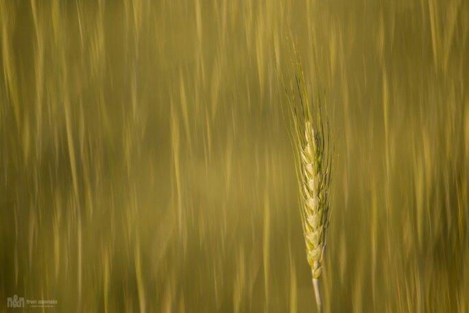 Campos de trigo de la sierra mariola (bocairent)