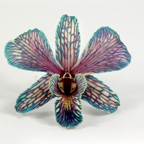 Butterfly Teal Blue, Fuchsia  White Orchids Natural Preserved Flowers