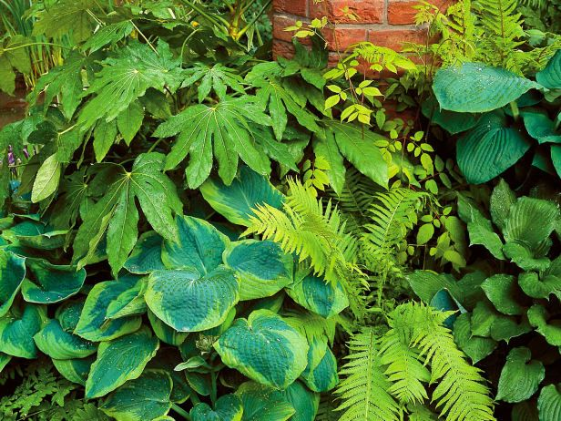 Shade loving hostas are paired with other shade staples, including Fatsia japonica, against a brick wall for contrast.