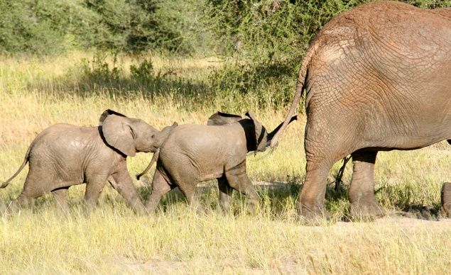 Africa's 2 elephant species are both endangered, due to poaching and habitat loss. 30 Incredible Wildlife Encounters On Safari Elephant Love African Forest Elephant Wild Elephant