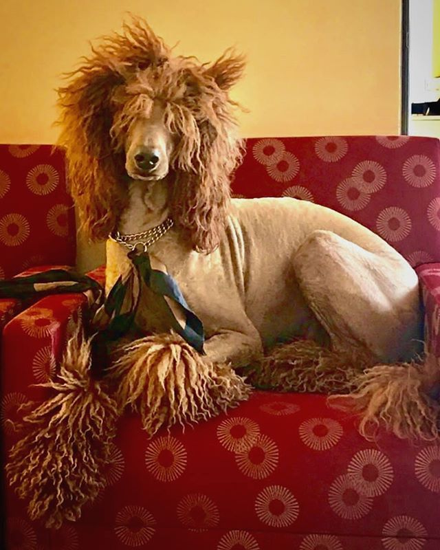 🥨Throwback To The Time We Were In The Lobby Of Wells Fargo Bank NYC Having An Impromptu Photoshoot And Complimentary Bottle Of Water and Dog Biscuits ... Just Moments Before I Was Wrongfully Accused Of Being An Allergin And Asked To Leave ... 🥨  Follow @bestpoodles for more photos #poodleoftheday #poodlestagram #poodlepic #poodlecross #poodlesofig #poodlemix #poodlesrock #poodleskirt #poodlecut #poodleface #poodlesdaily #poodleworld #poodlered