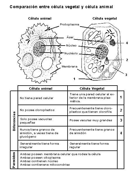 celula animal vegetal procariota y eucariota - Buscar con Google