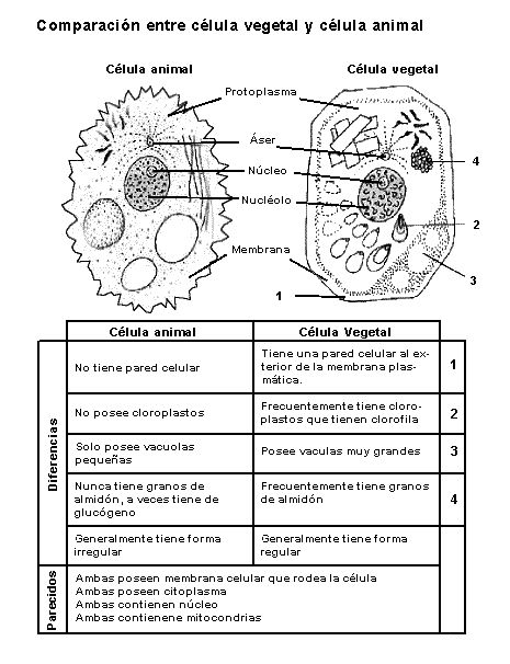 Imagen en blanco y negro que presenta la comparación entre una célula animal y…